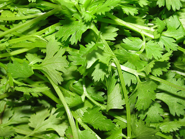 12-spices-nepali-cuisine-health-benefits-coriander